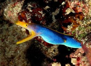Rhinomuraena quaesita blu