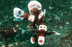 Plectorynchus chaetodoines