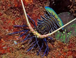 Panulirus versicolor blue
