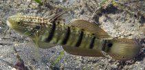 Amblygobius semicinctus
