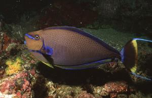 Naso Vlamingii Coral Bay Srl