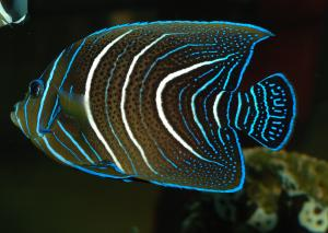 Pomacanthus Semicirculatus Juvenile