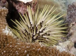 Echinometra calamaris