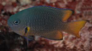 Pomacentrus Melanochirus