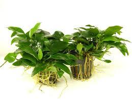 Anubias barteri bonsai