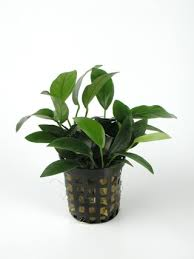 Anubias species nana
