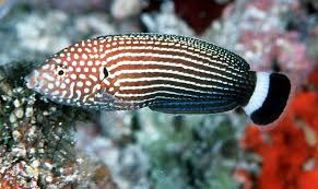 Anampses lineatus