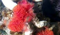 Protula bispira red