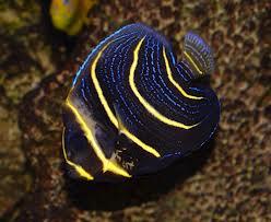 Pomacanthus Zonipectus