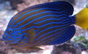 Chaetodontoplus Septentrionalis