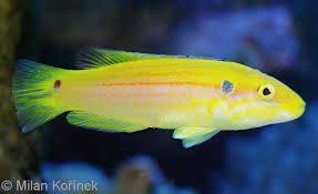 Bodianus bimaculatus