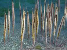 Aeoliscus strigatus