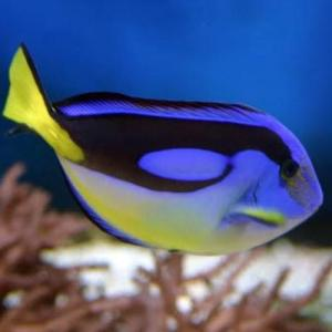Paracanthurus hepatus tiny yellow belly