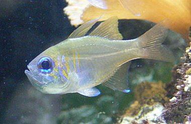 Zoramia leptacanthus