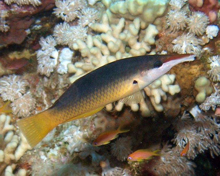 Gomphosus caeruleus female