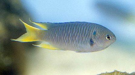 Pomacentrus Nemurus