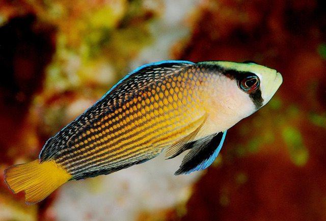 Pseudocromis splendens