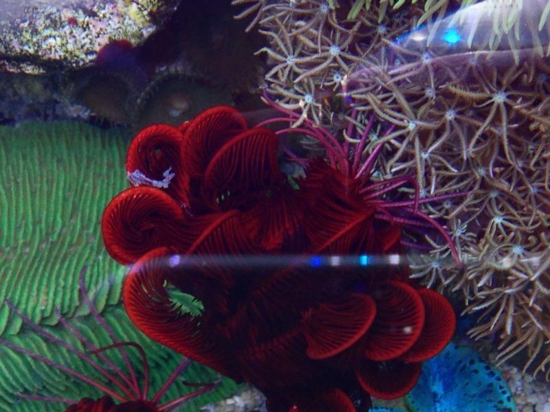 Crinoide rosso 10 cm