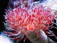 Protula bispira bianco e rosso