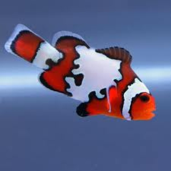 Amphiprion Ocellaris Snowflake Black Ice
