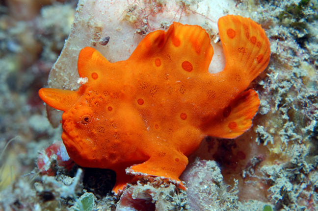 Antennarius sp arancio
