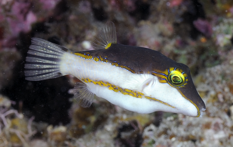 Canthigaster smithae
