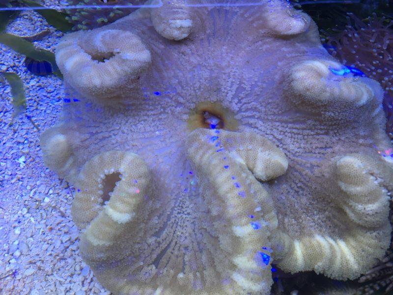 Stoichactis Kenti Giallo 30 cm