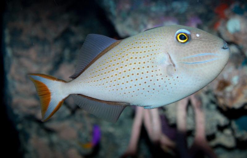 Xanthichthys auromarginatus - Female