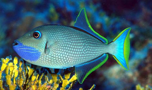 Xanthichthys auromarginatus Coppia