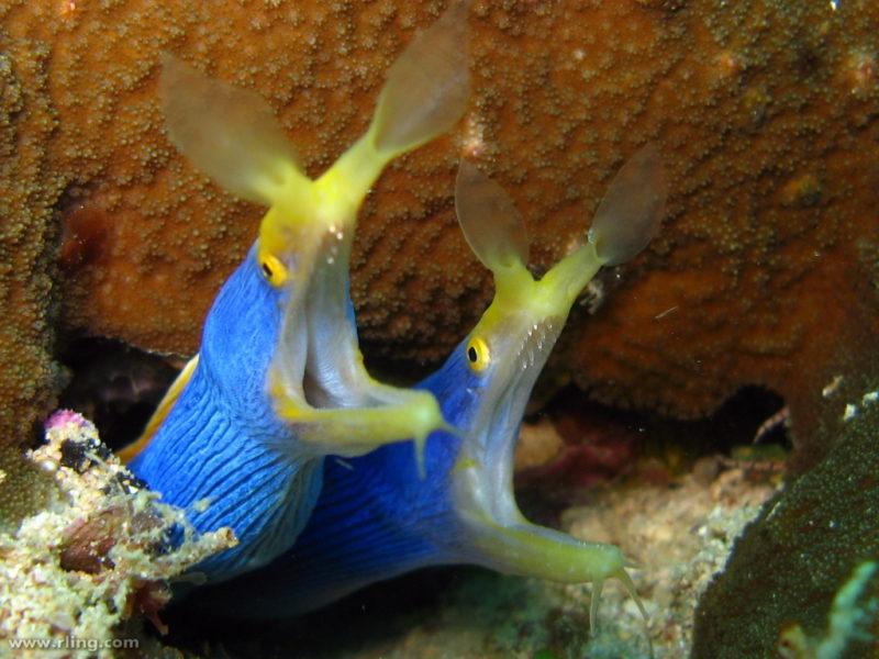 Rhinomuraena quaesita blu - Coppia