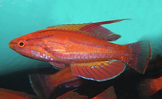 Paracheilinus rubricauda