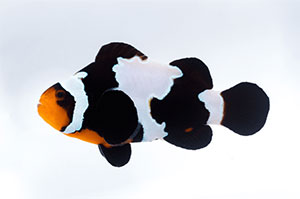 amphiprion ocellaris black snowflake