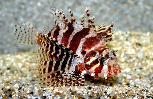 dendrochirus-brachypterus